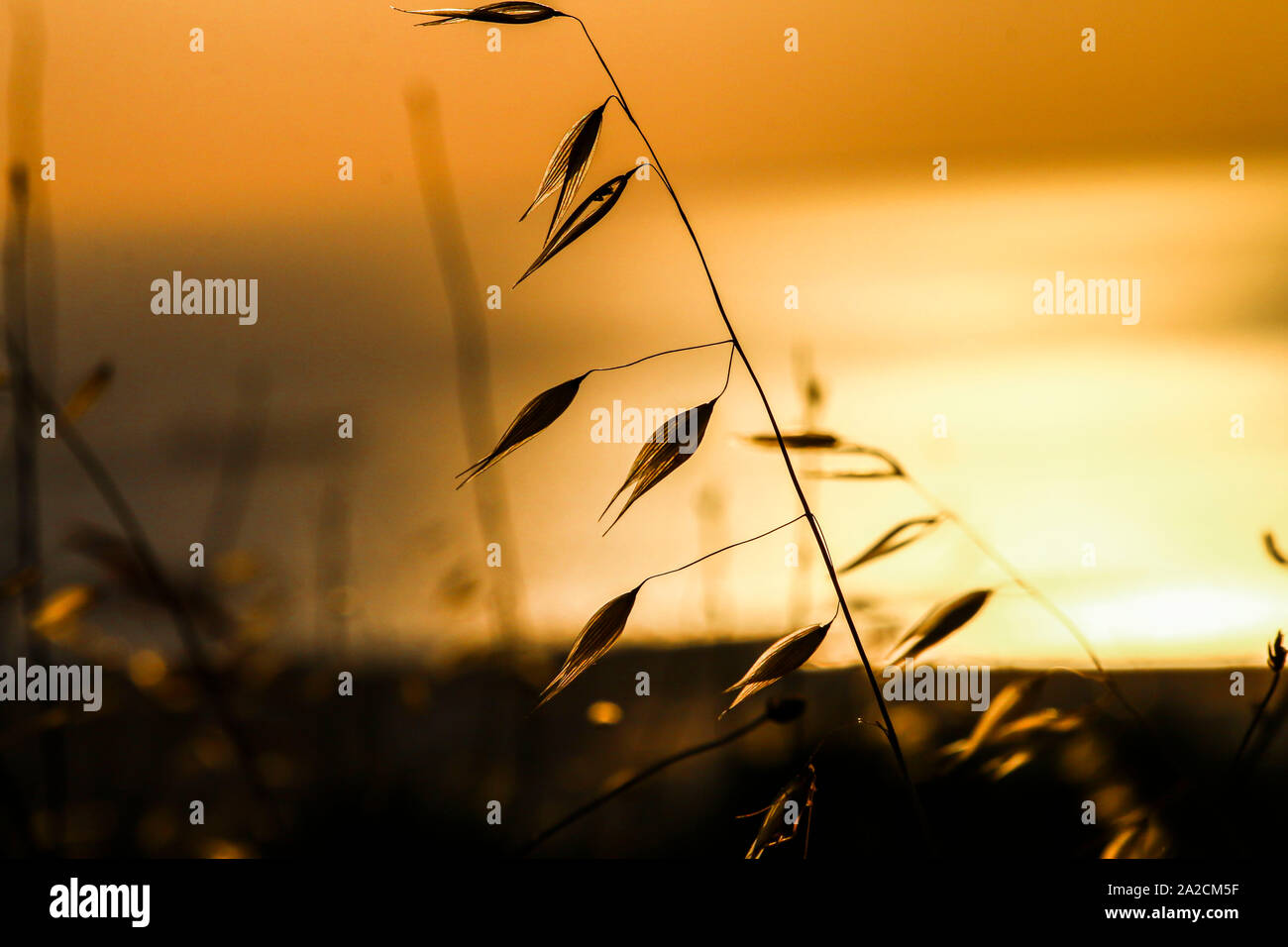 Beautiful nature sunset landscape. Ears of golden wheat close up. Rural scene under sunlight. Summer background of ripening ears of agriculture landsc Stock Photo