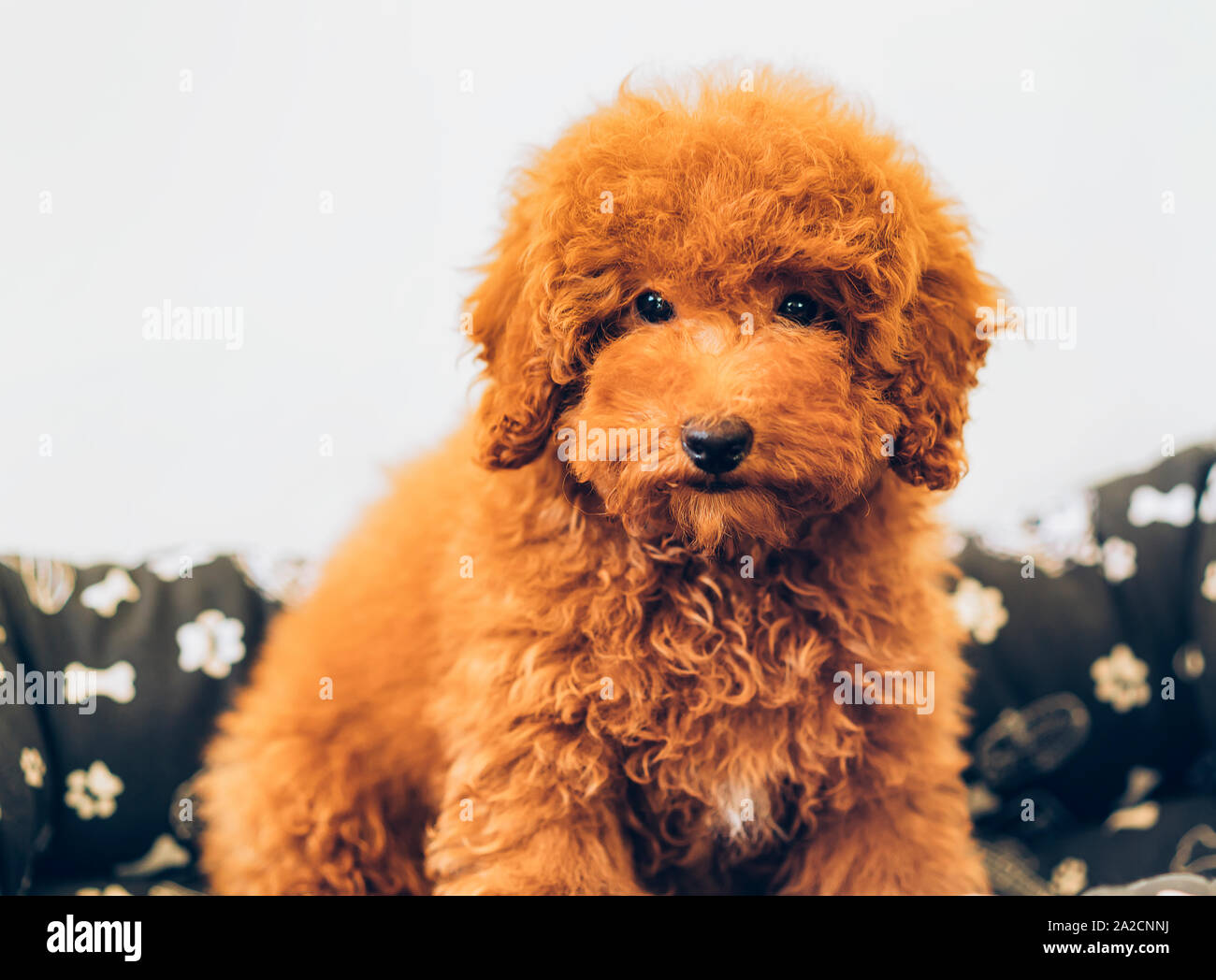 Apricot Toy Poodle Puppy Stock Photo Alamy