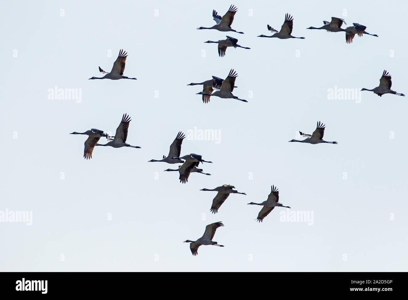 Flock of Common Crane (Grus grus) in flight as silhouettes, Welney, Norfolk, England Stock Photo