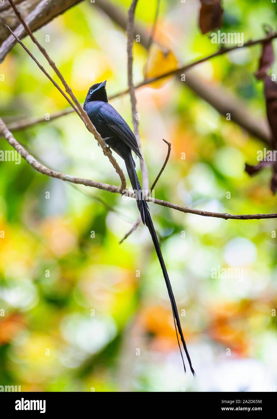 Male Seychelles Paradise Flycatcher, La Digue, Seychelles Stock Photo