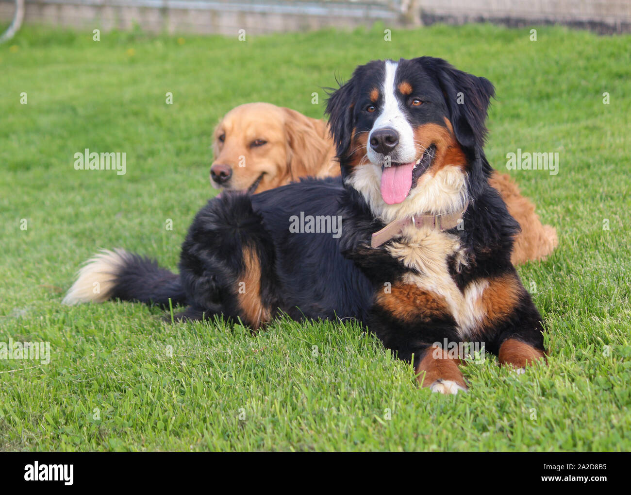 Bernese Mountain Dog With Golden Retriever In Background