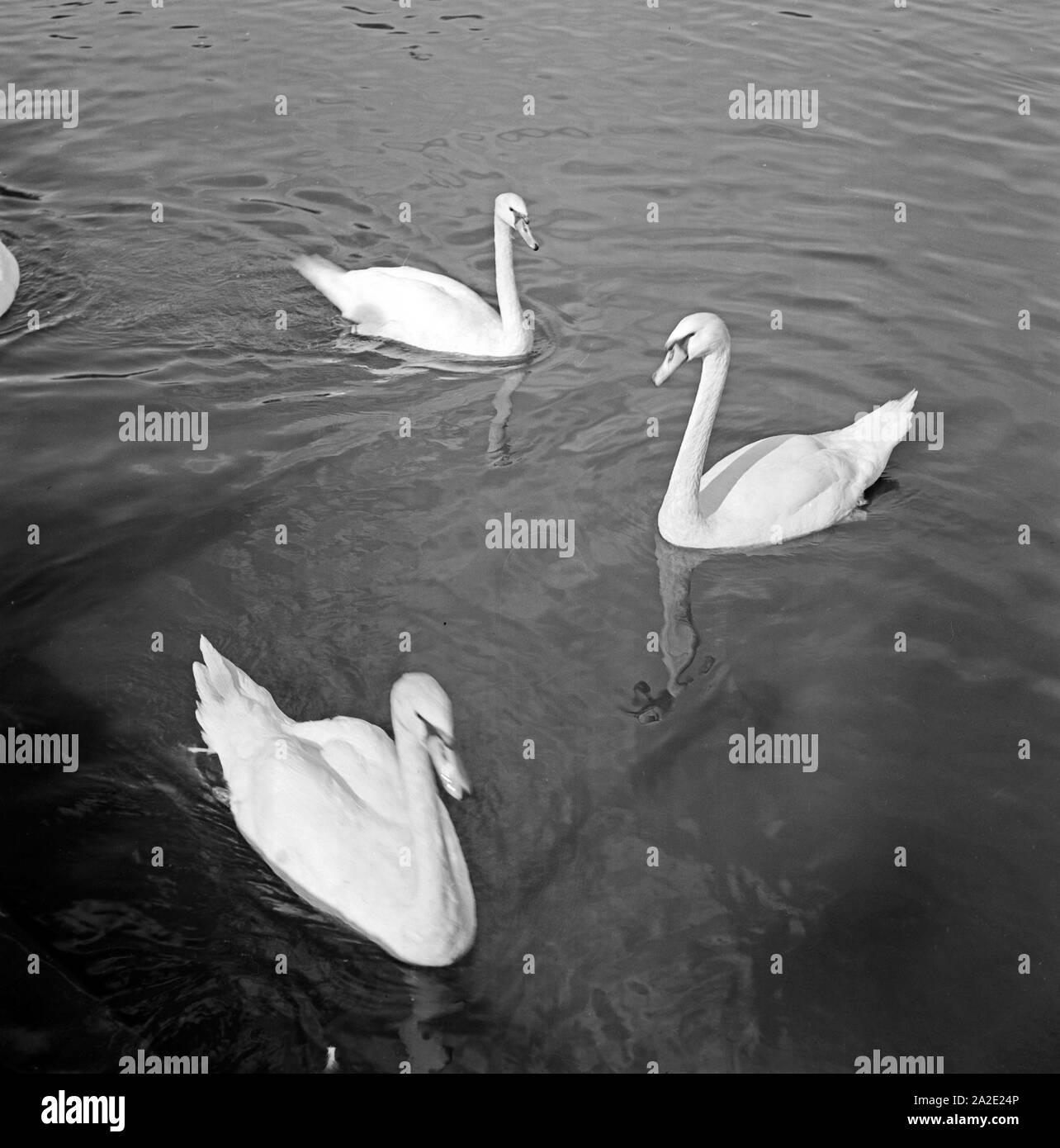 Schwäne schwimmen auf dem Adolf Mittag See in Magdeburg, Deutschland 1930er Jahre. Swans swimming in the Adolf Mittag lake at Magdeburg, Germany 1930s. Stock Photo