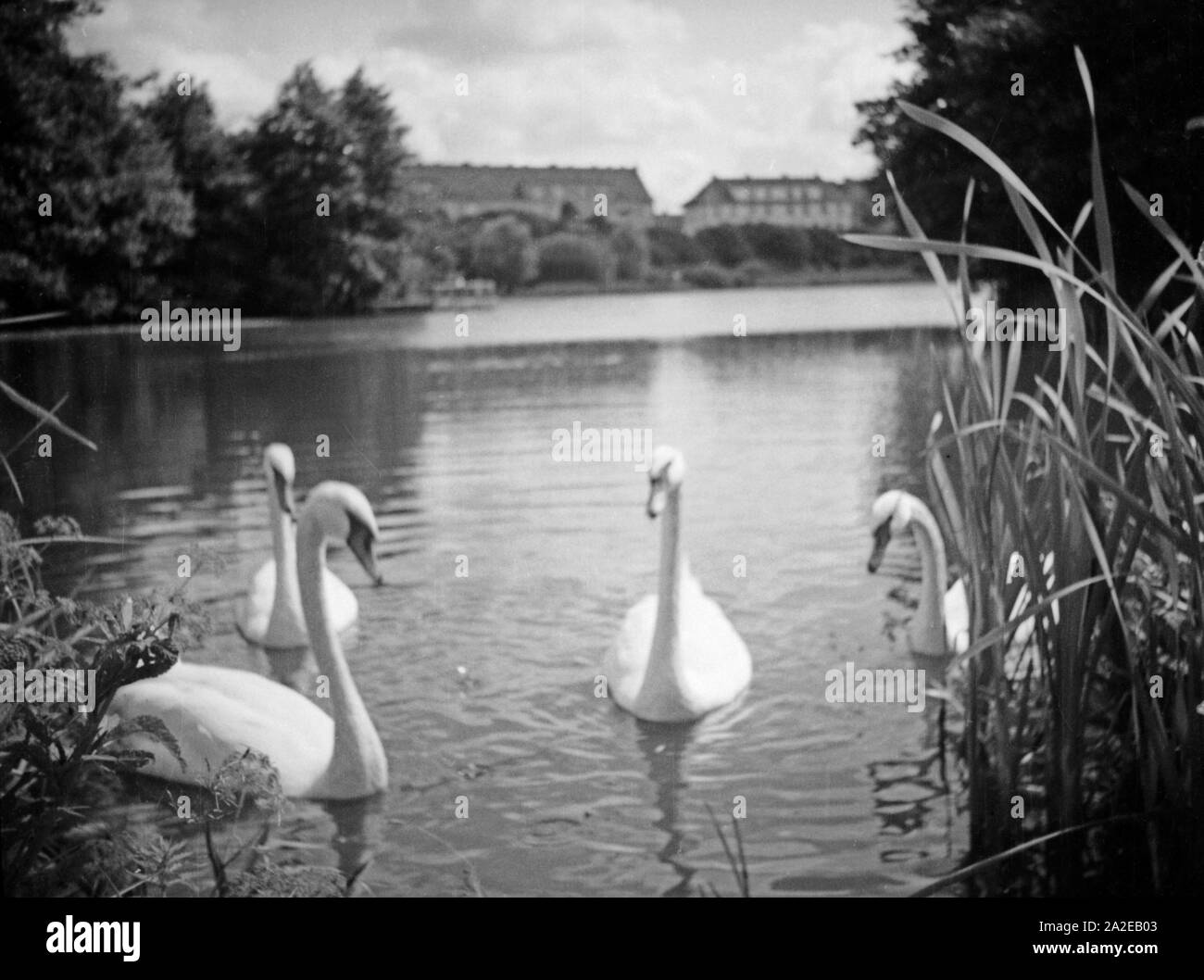 Schwäne auf dem Hammerteich im Stadtteil Rathshof, Königsberg, Ostpreußen 1930er Jahr. Swans on Hammerteich pond of Rathshof district at Koenigsberg, East Prussia, 1930s. Stock Photo