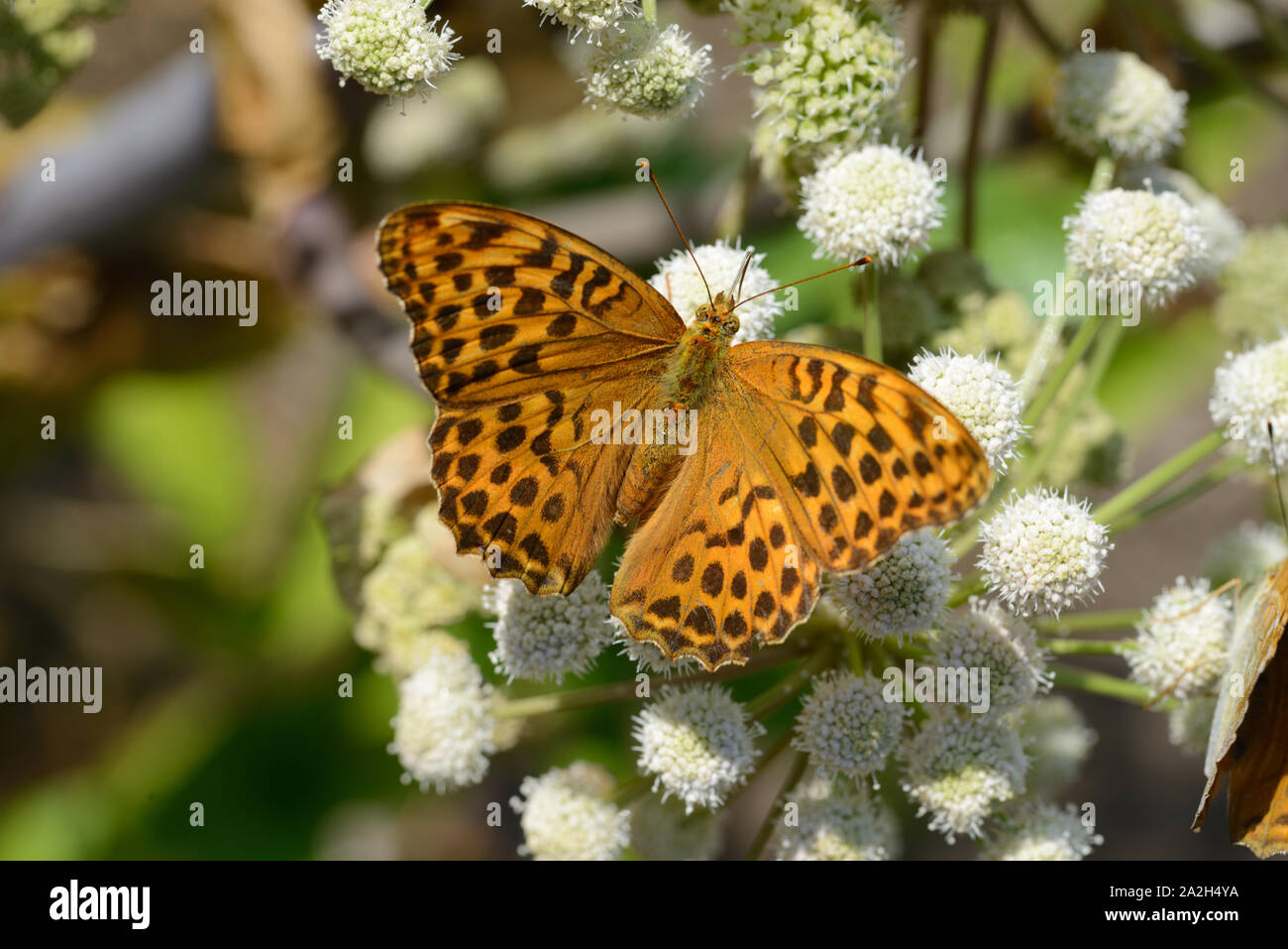 Single High Brown Fritillary Butterfly, Fabriciana adippe, on Common Hogweed, Heracleum sphondylium Stock Photo