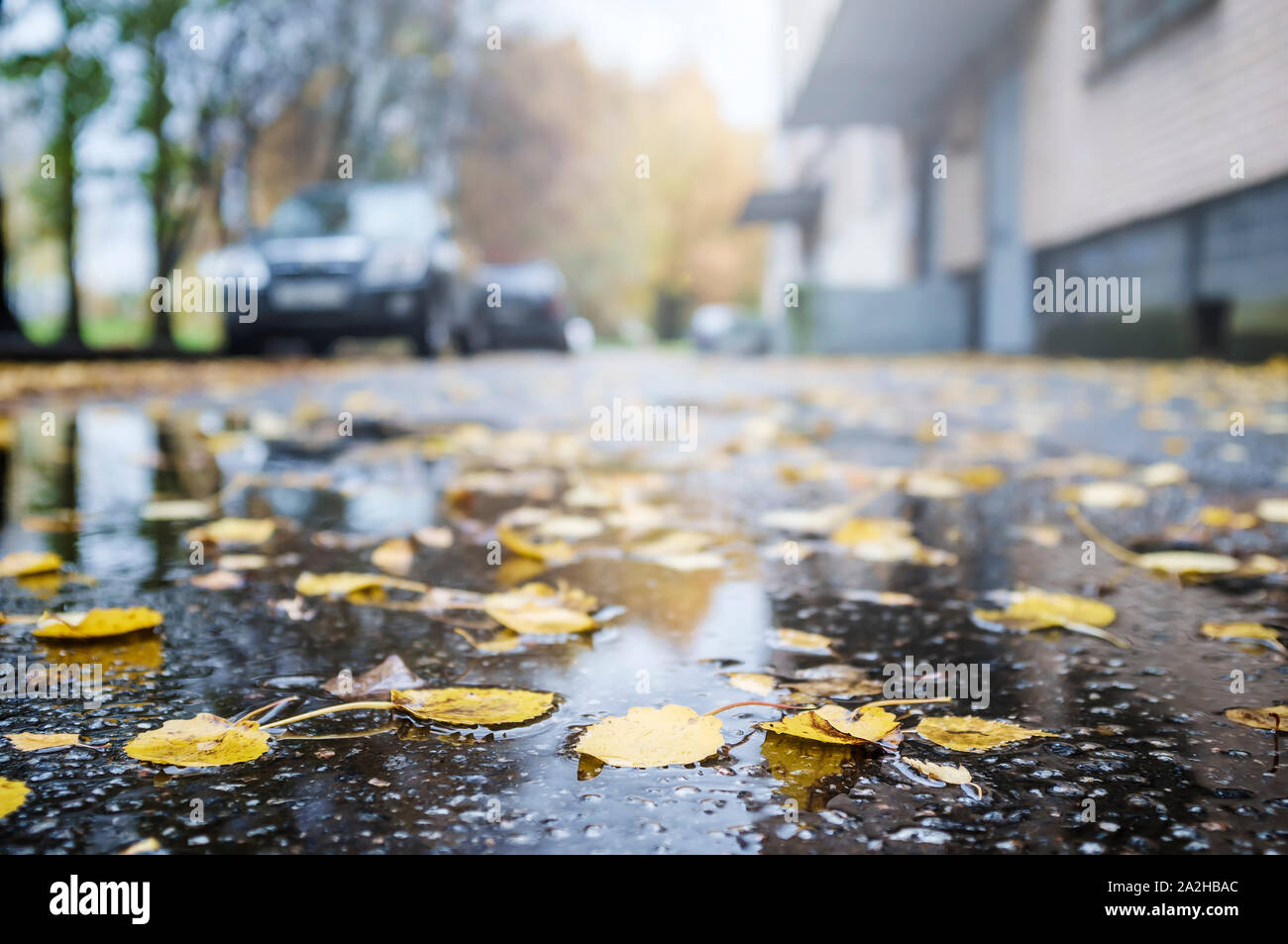 Beautiful fallen, yellow leaves lie on wet asphalt, on a blurry background cars, trees, building. Stock Photo