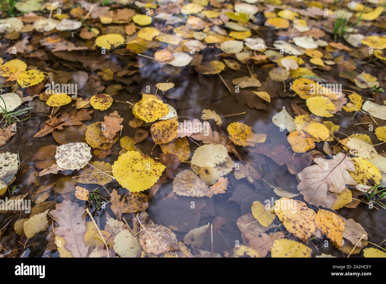 Yellow autumn leaves in a rain puddle. Close-up. Stock Photo