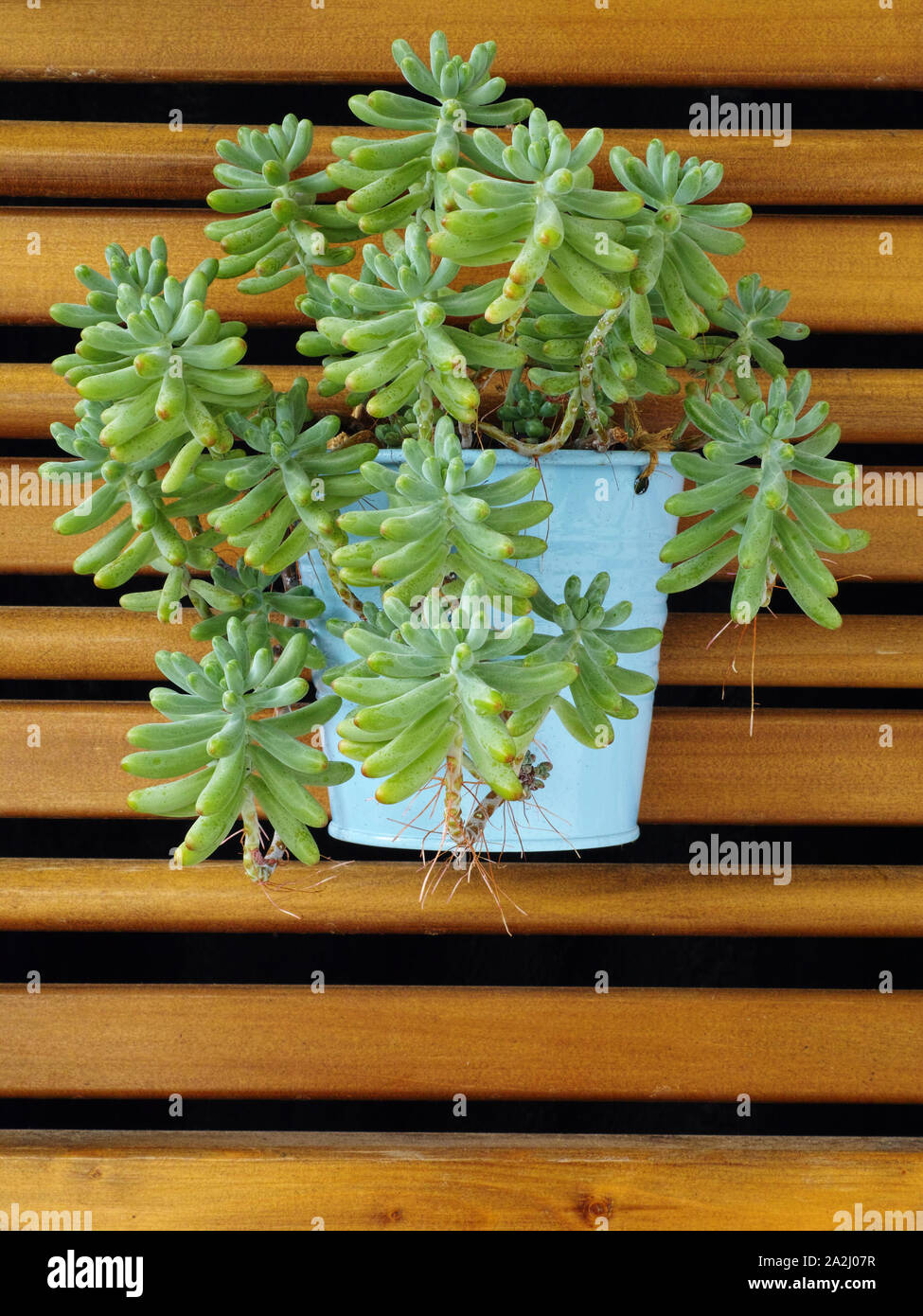 Hanging Succulent High Resolution Stock Photography And Images Alamy