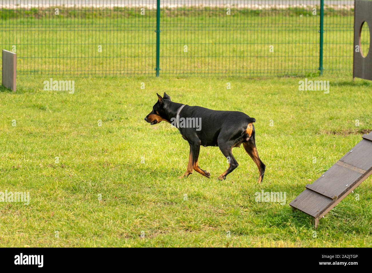 Doberman Pinscher Walking In The Park With Training Hurdles Stock Photo Alamy