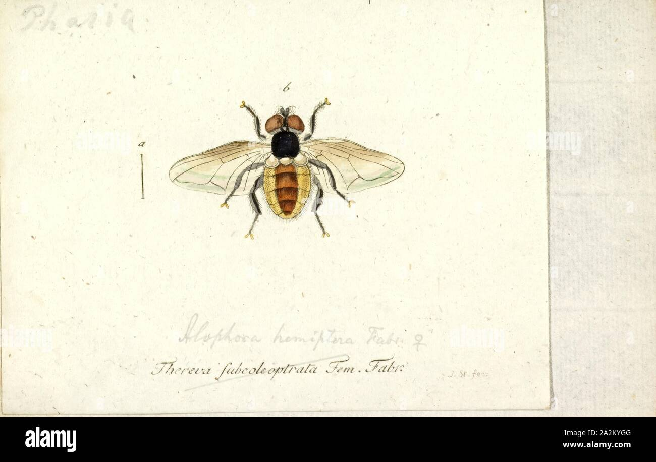 Alophora, Print, Phasia is a genus of flies in the family Tachinidae Stock Photo