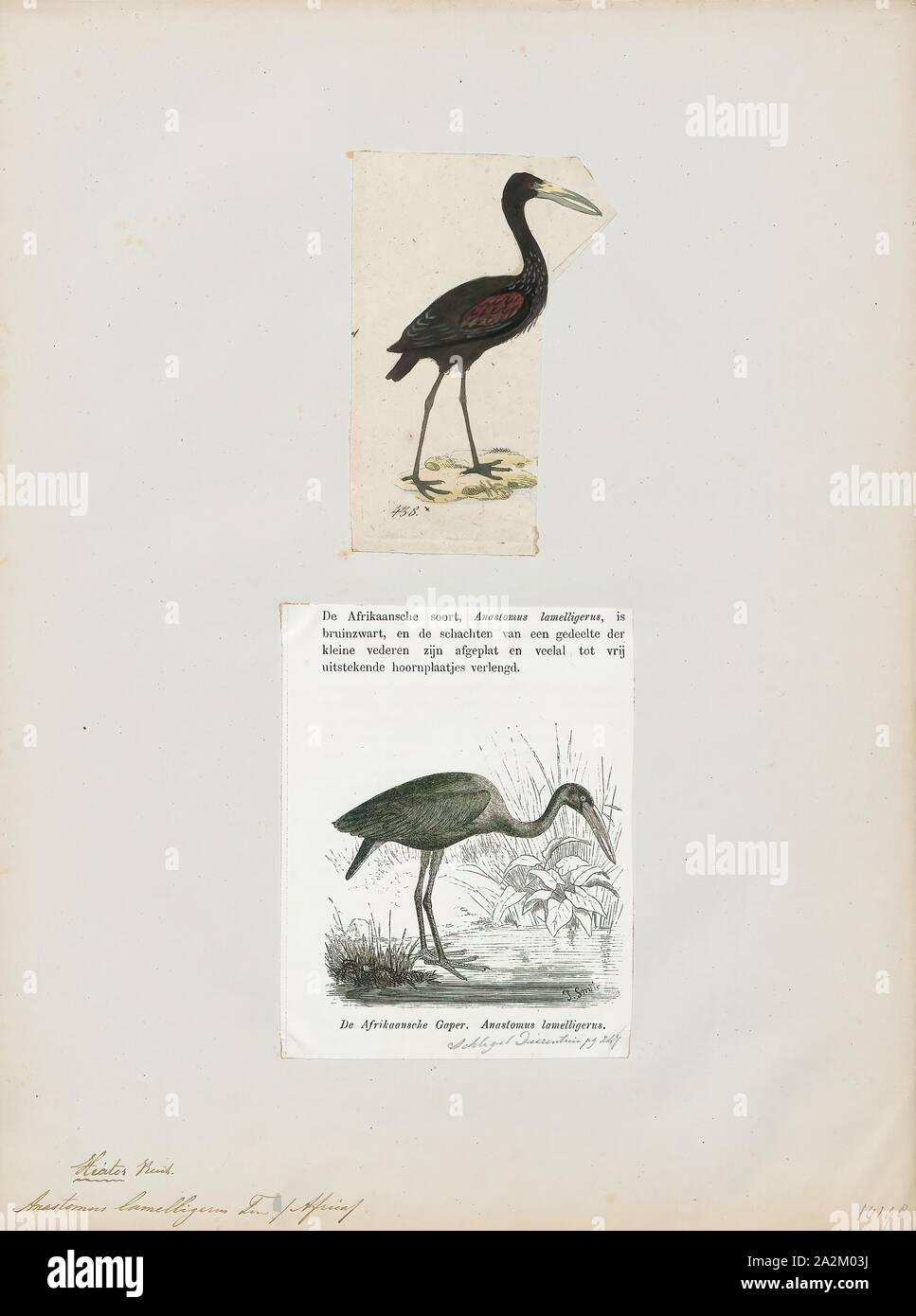 Anastomus lamelligerus, Print, The African openbill (Anastomus lamelligerus) is a species of stork in the family Ciconiidae. It is native to large parts of sub-Saharan Africa., 1700-1880 Stock Photo