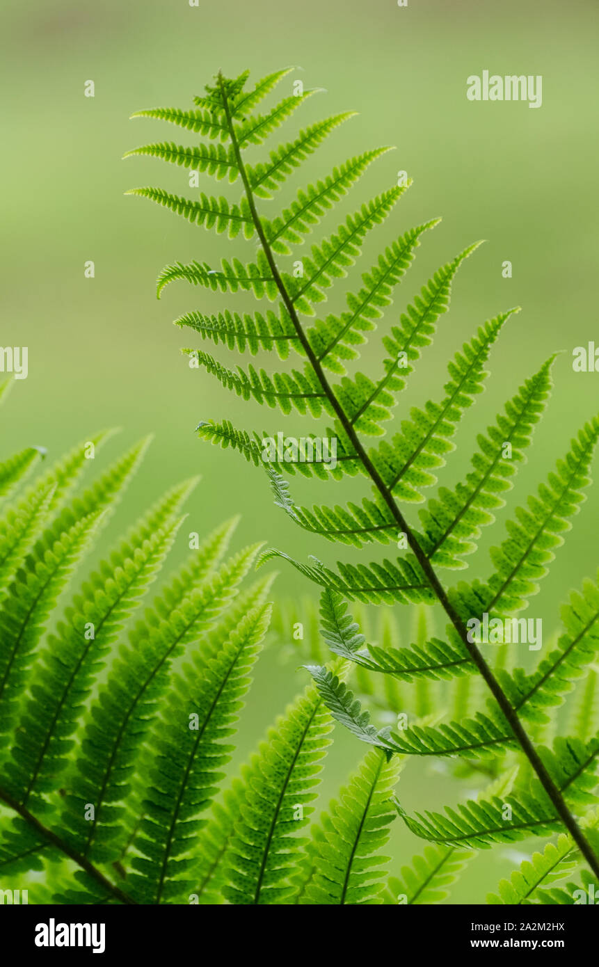 Polypodiopsida, Close-up of fern leaves Stock Photo