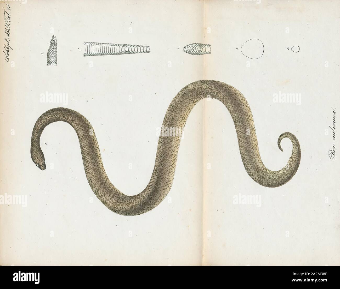 Boa melanura, Print, Tropidophis melanurus, commonly known as dusky dwarf boa, Cuban wood snake, or Cuban giant dwarf boa, is a non-venomous dwarf boa species found mainly in Cuba. Currently, there are three subspecies recognized, including the typical form described here., 1700-1880 Stock Photo