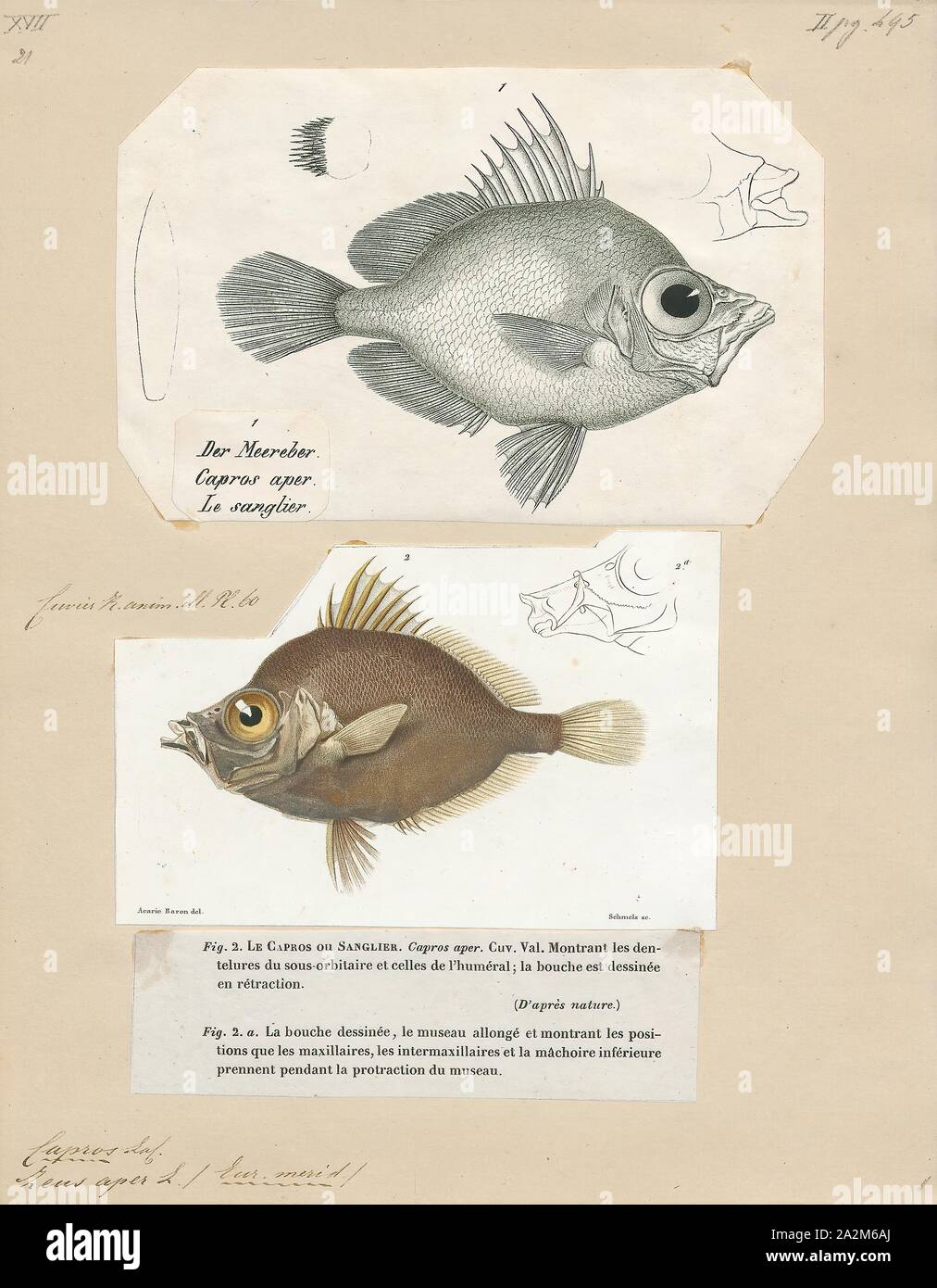 Capros aper, Print, The boarfish (Capros aper) is a species of fish in the Caproidae family, the only known member of its genus., 1700-1880 Stock Photo