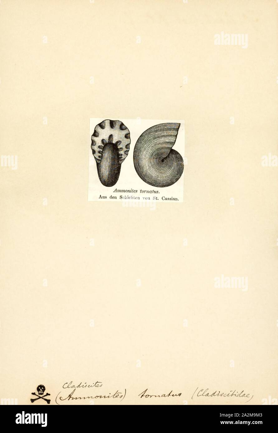 Cladiscites, Print, Cladiscites is an extinct genus of cephalopods in the ammonoid order Ceratitida. These nektonic carnivores lived during the Triassic, from Carnian to Rhaetian age Stock Photo