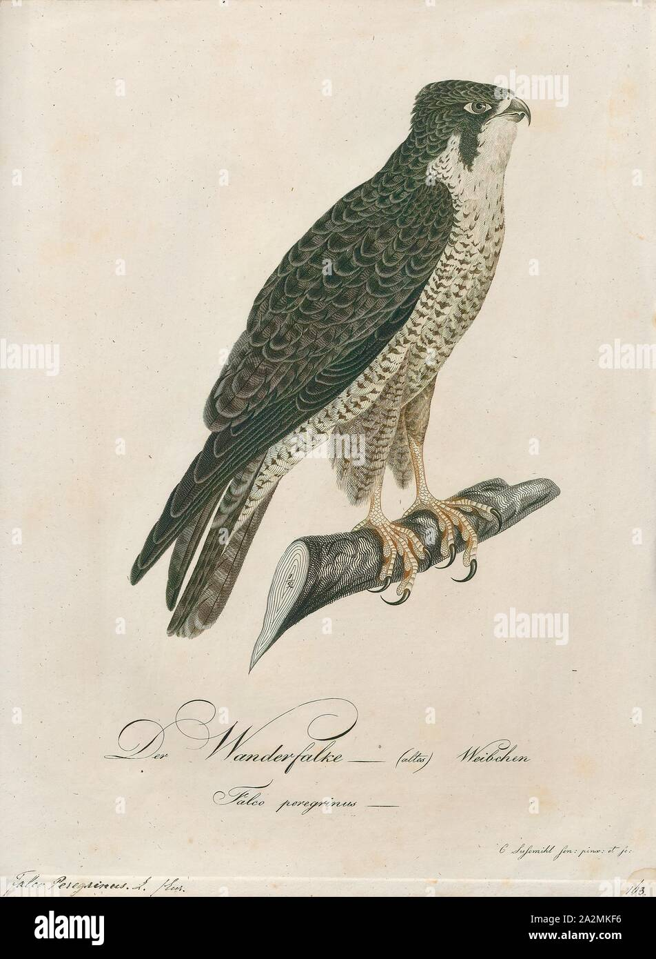 Peregrine Falcon Dive High Resolution Stock Photography And Images Alamy