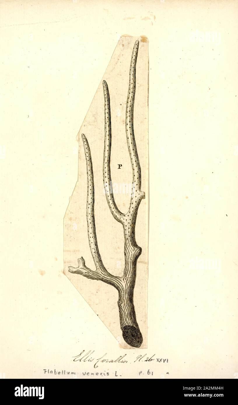 Flabellum veneris, Print Stock Photo