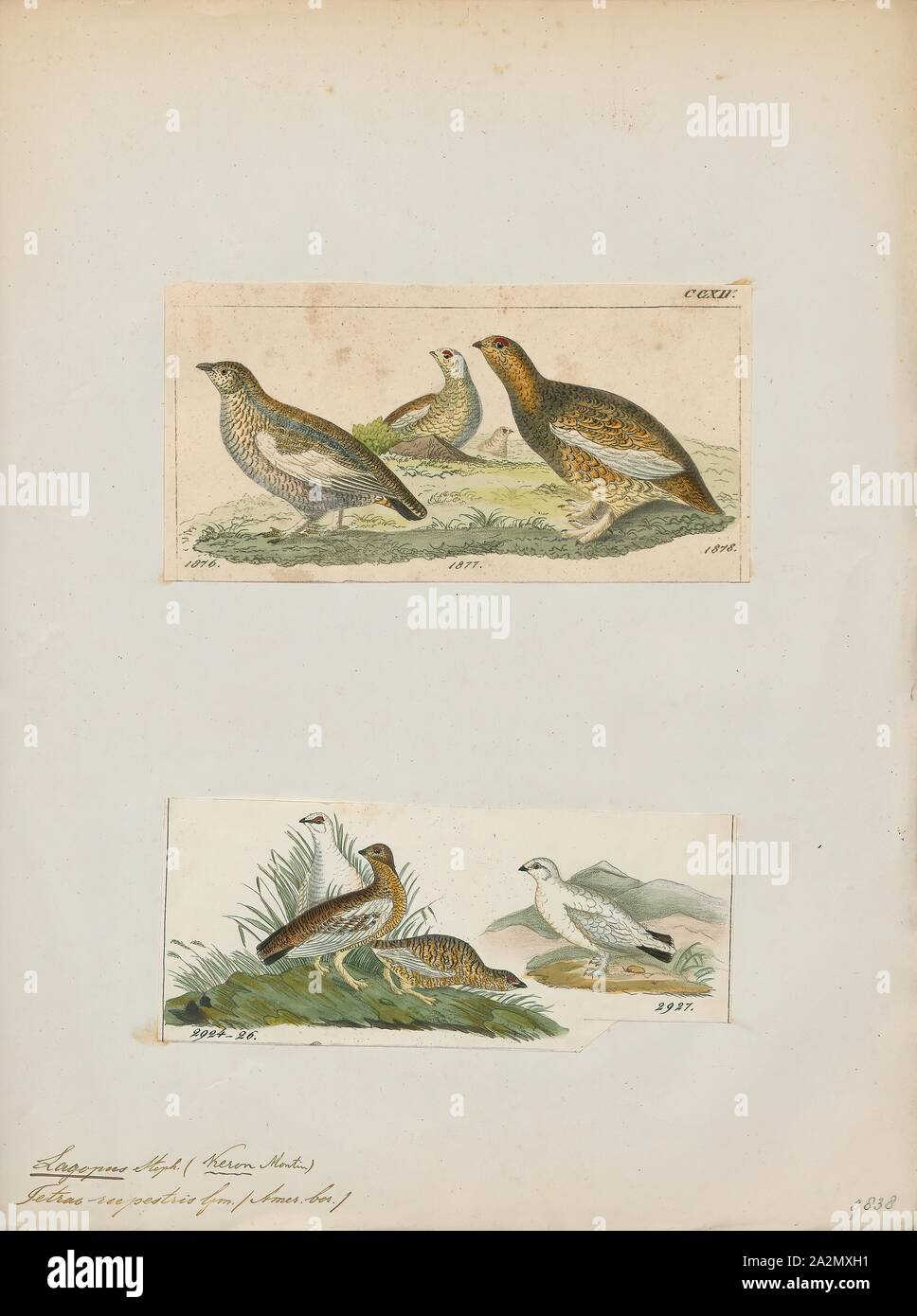 Lagopus rupestris, Print, Lagopus is a small genus of birds in the grouse subfamily commonly known as ptarmigans. The genus contains three living species with numerous described subspecies, all living in tundra or cold upland areas., 1700-1880 Stock Photo