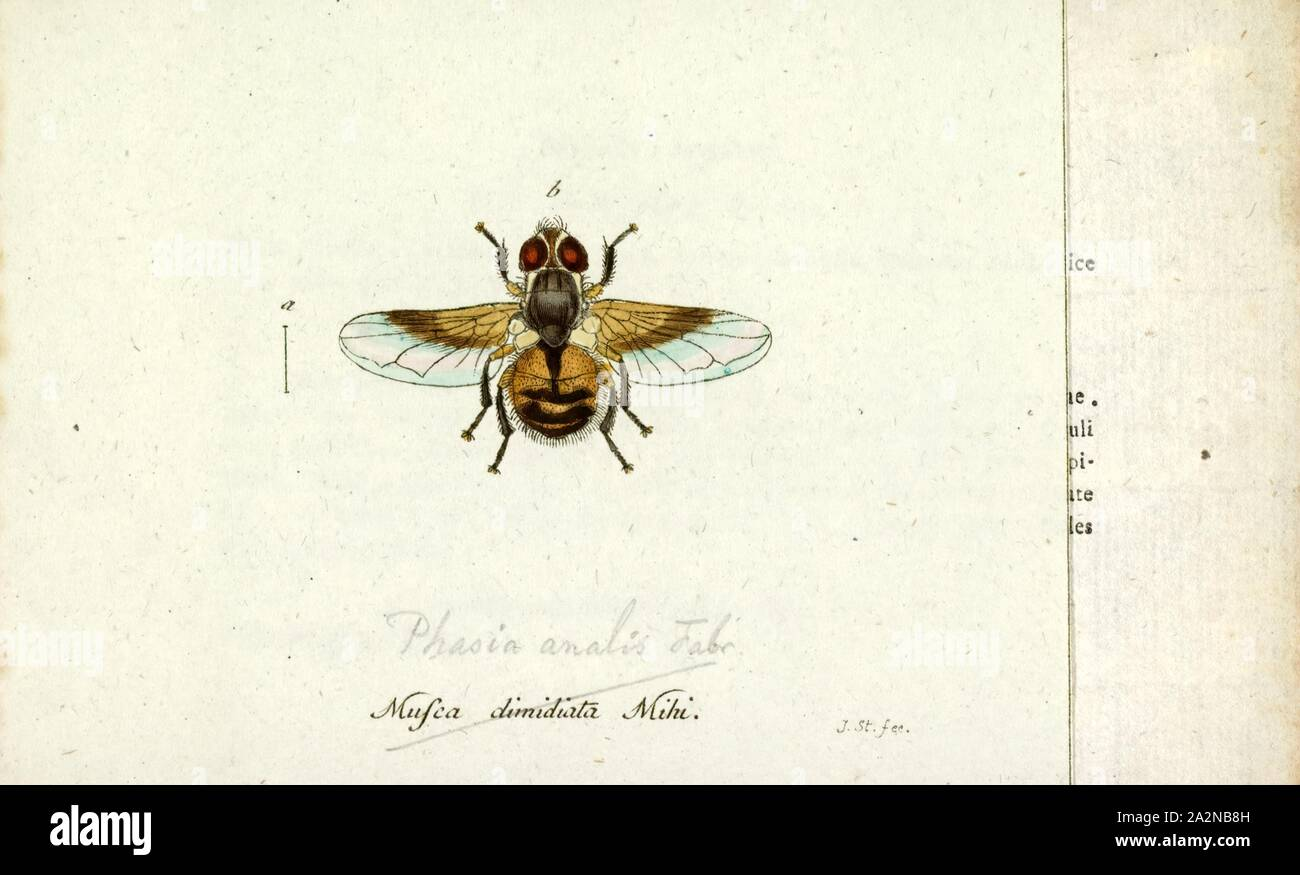 Phasia, Print, Phasia is a genus of flies in the family Tachinidae Stock Photo
