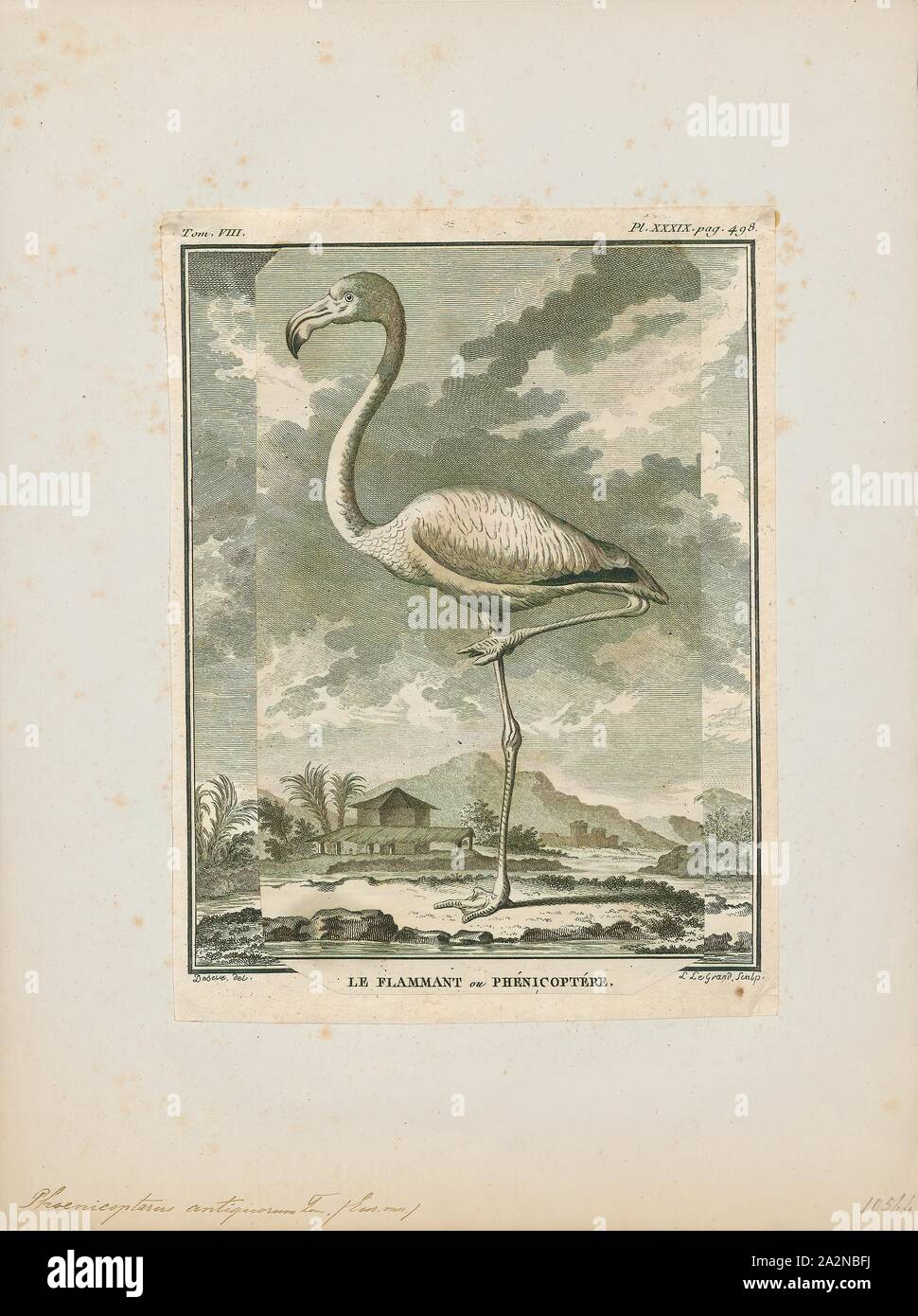Phoenicopterus antiquorum, Print, The greater flamingo (Phoenicopterus roseus) is the most widespread and largest species of the flamingo family. It is found in Africa, on the Indian subcontinent, in the Middle East, and in southern Europe., 1700-1880 Stock Photo