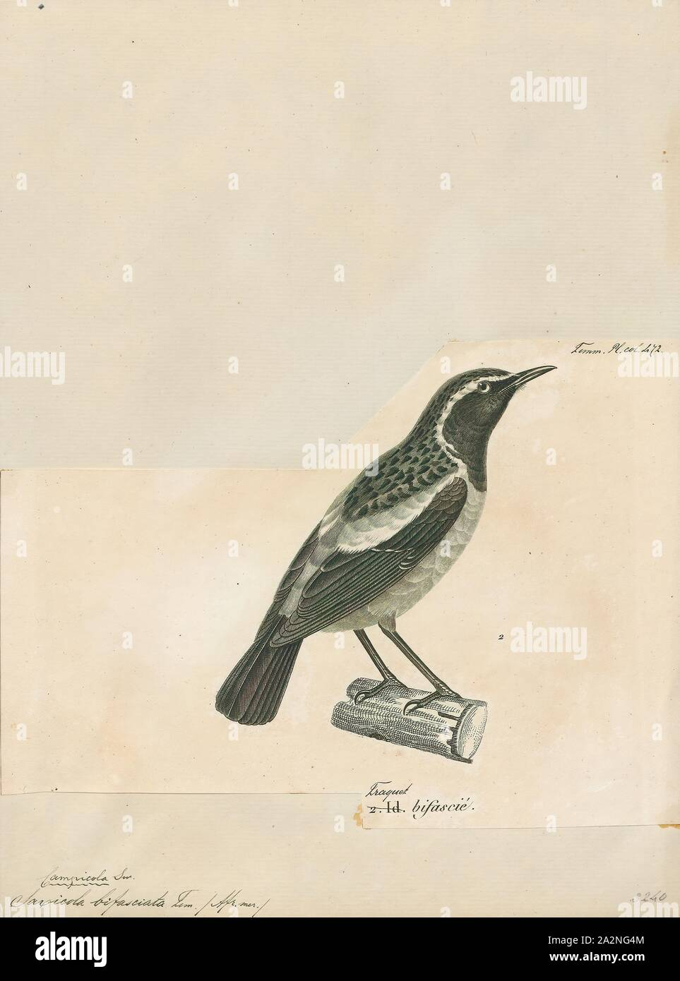 Saxicola bifasciata, Print, The buff-streaked chat or buff-streaked bushchat, (Campicoloides bifasciatus) is a species of bird in the family Muscicapidae. It is found in Lesotho, South Africa, and Swaziland. Its natural habitat is subtropical or tropical dry lowland grassland., 1700-1880 Stock Photo