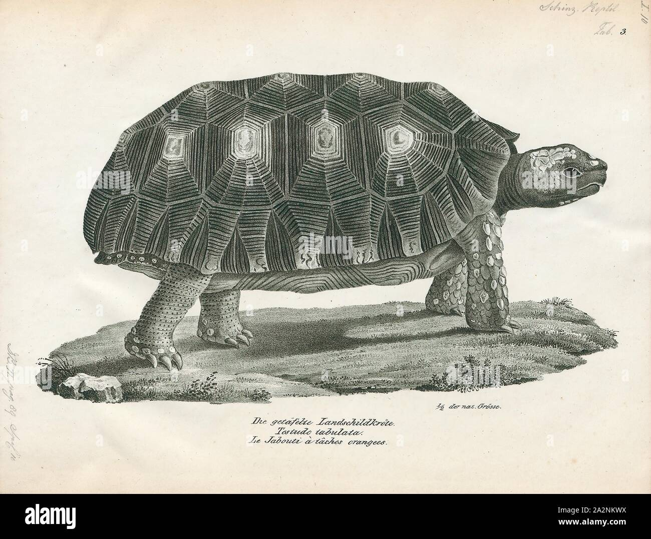 Testudo Tabulata Print The Yellow Footed Tortoise Chelonoidis Denticulatus Also Known As The Brazilian Giant Tortoise Commonly Referred To As The Brazilian Giant Turtle Or More Commonly The Big Turtle Is A Species