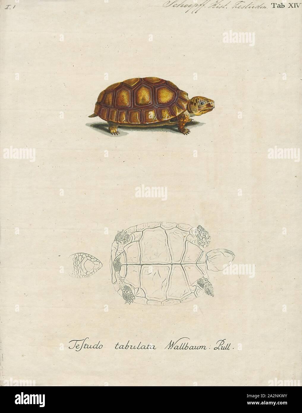 Testudo Tabulata Print The Yellow Footed Tortoise Chelonoidis Denticulatus Also Known As The Brazilian Giant Tortoise