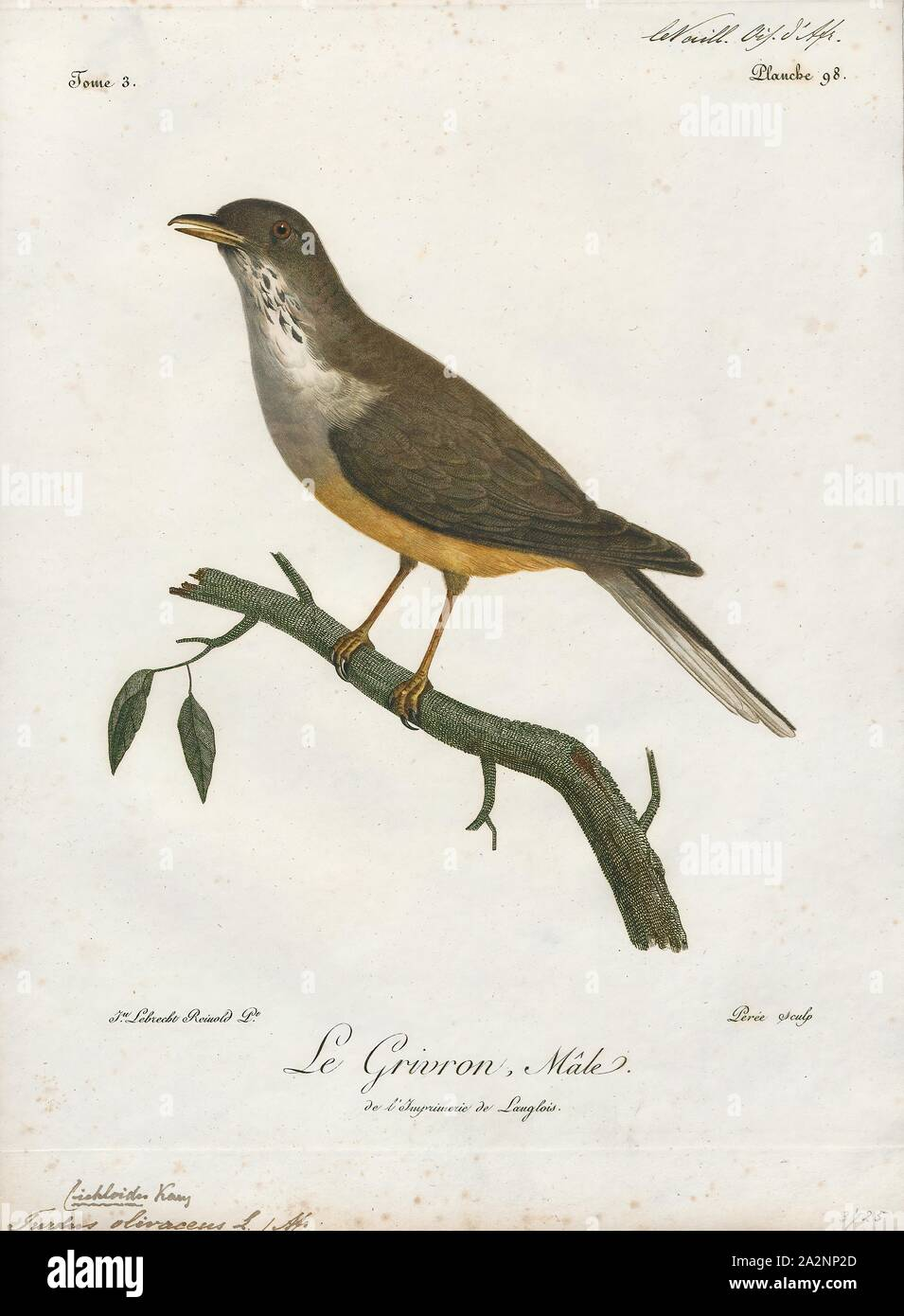 Turdus olivaceus, Print, The olive thrush (Turdus olivaceus) is, in its range, one of the most common members of the thrush family (Turdidae). It occurs in east African highlands from Tanzania and Zimbabwe in the north to the Cape of Good Hope in south. It is a bird of forest and woodland, but has locally adapted to parks and large gardens in suburban areas., 1796-1808 Stock Photo