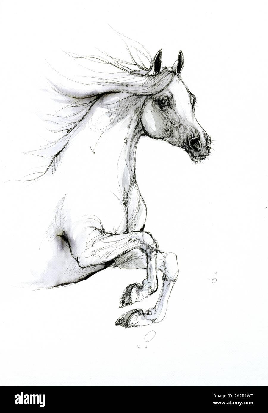 Arabian Horse Drawing Stock Photo Alamy