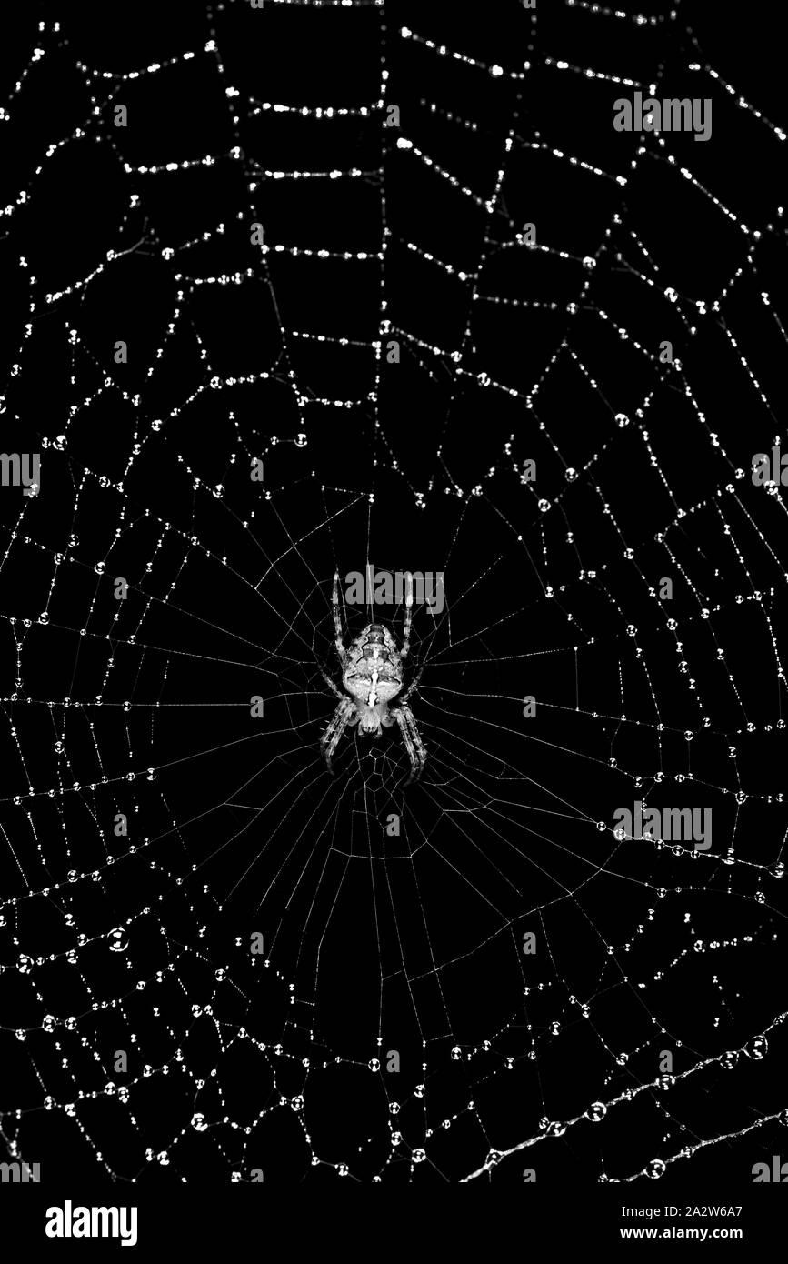 Spider on its rain soaked web Stock Photo