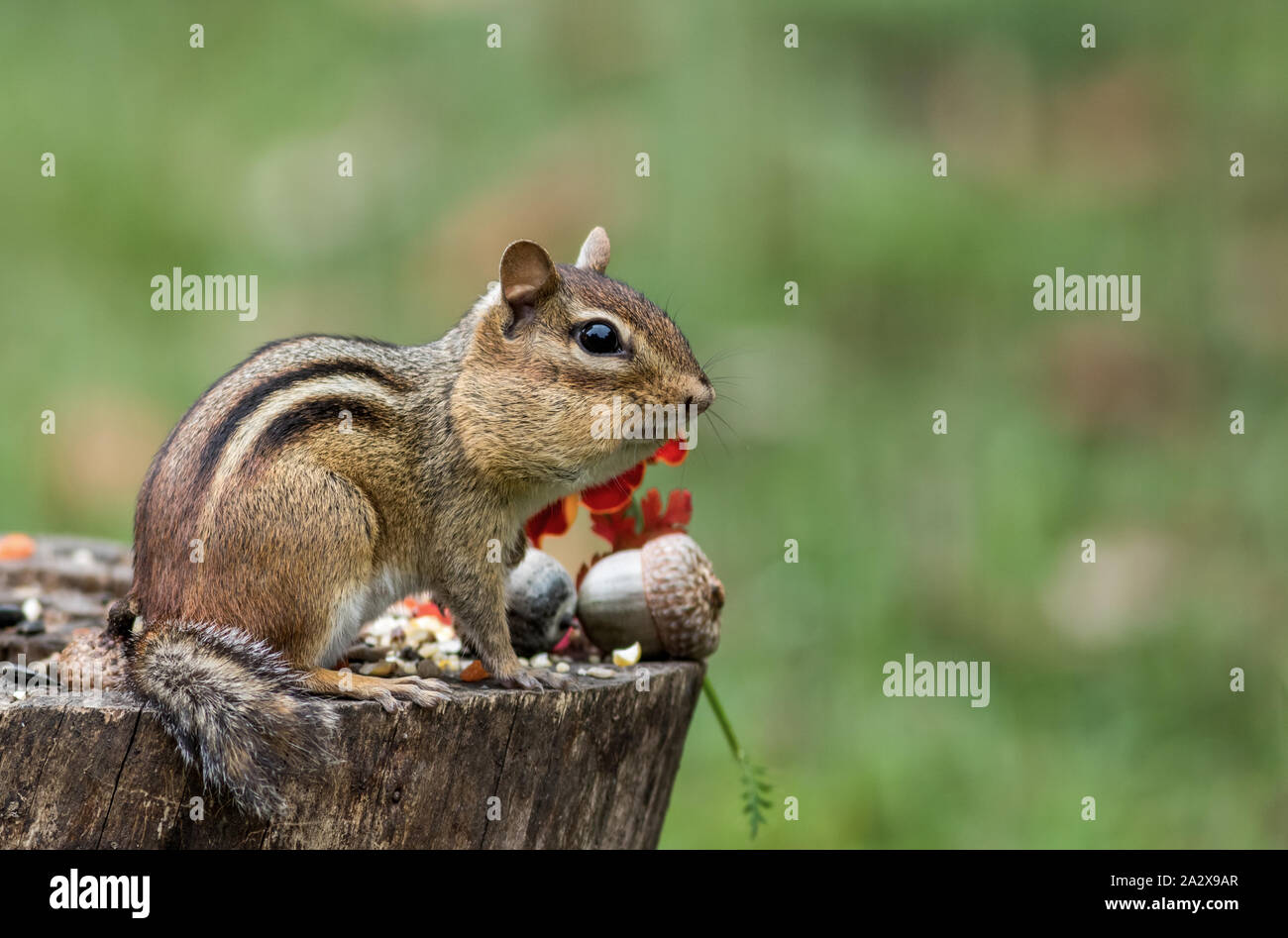 Eastern Chipmunk (Tamias Striatus) gathers seeds in fall next to pumpkin Stock Photo