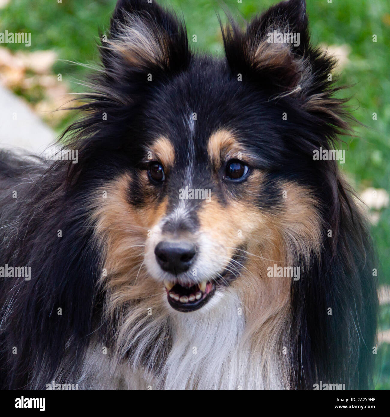 Sheltie or Shetland Sheepdog has traditionally been used as a shepherd dog. This adorable dog with a furry collar is often mistaken for a mini version Stock Photo