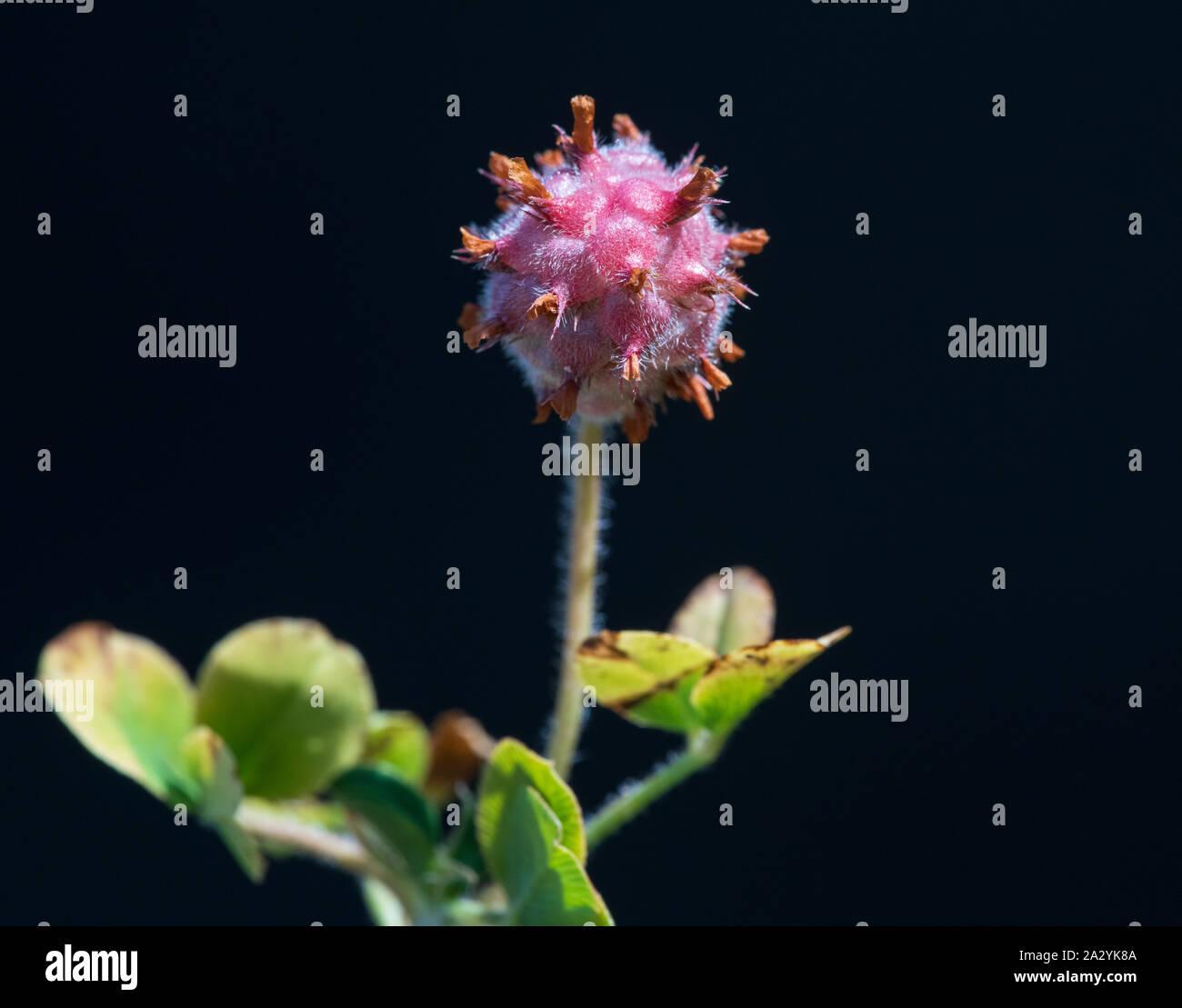 Strawberry Clover (Trifolium fragiferum) seed head Stock Photo