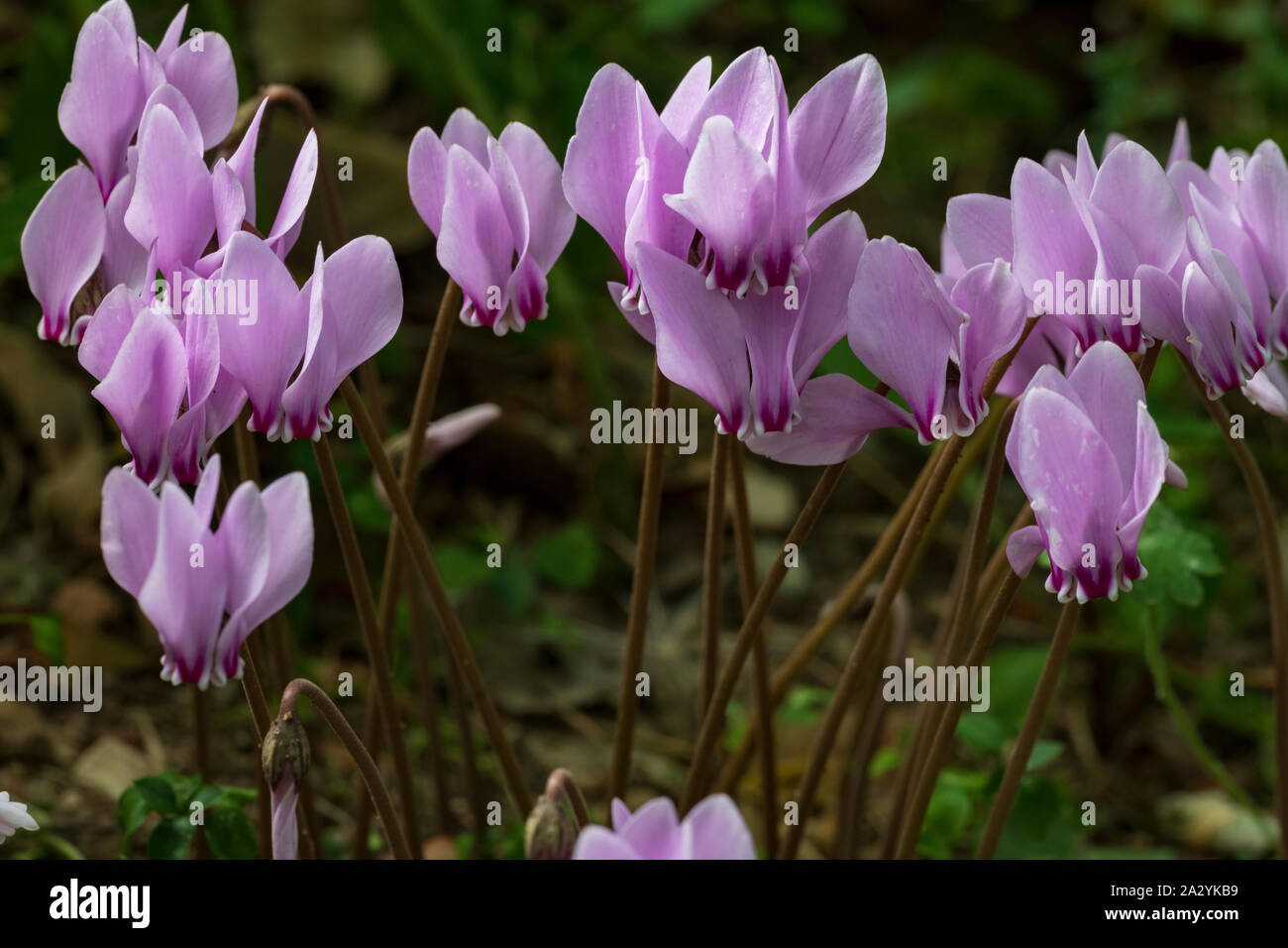 Ivy-leaved Sowbread (Cyclamen hederifolium, pink flowers Stock Photo