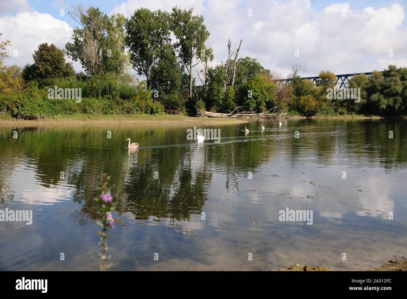Swans on the river Donau Bavaria Germany Deggendorf /Schwäne auf der Donau Bayern Deggndorf Stock Photo