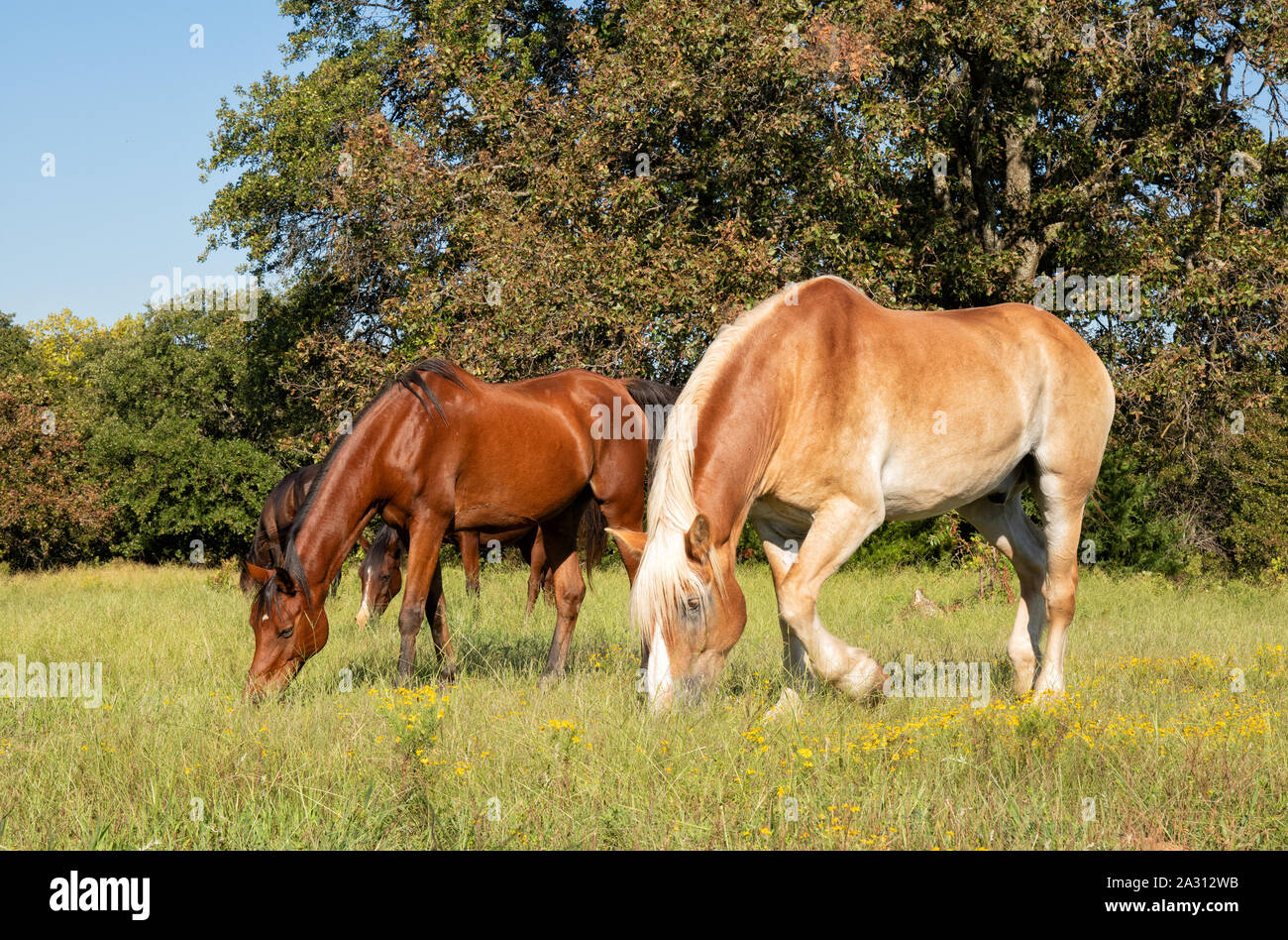 Small herd of horses grazing on a sunny fall pasture Stock Photo