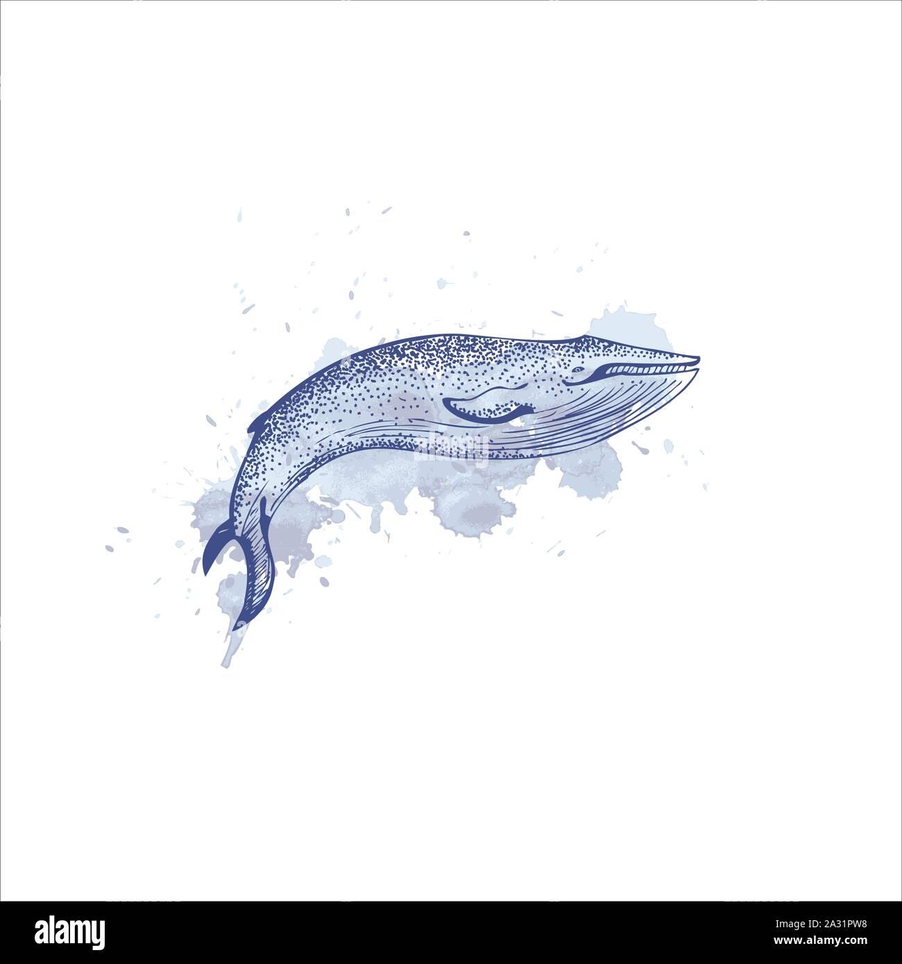 Black And White Hand Drawn Illustration Vector Art Blue Whale Illustration On Isolated White Background Endangered Marine Animal Concept Educational Wildlife Design Vector Stock Vector Image Art Alamy