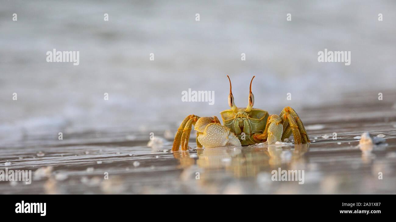 Horned Ghost Crab on Praslin, Seychelles Stock Photo