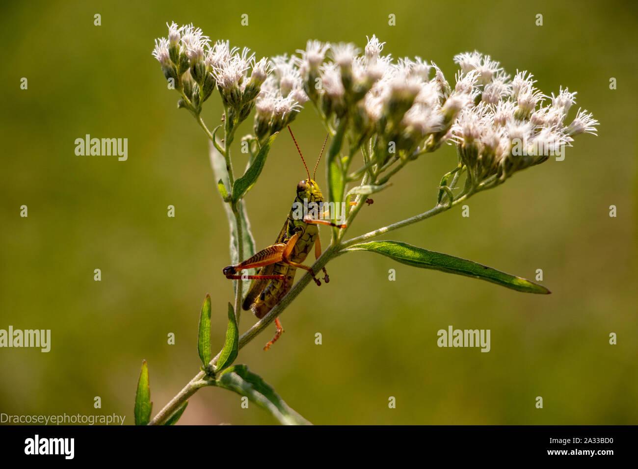 Grasshopper relaxing on a flower Stock Photo