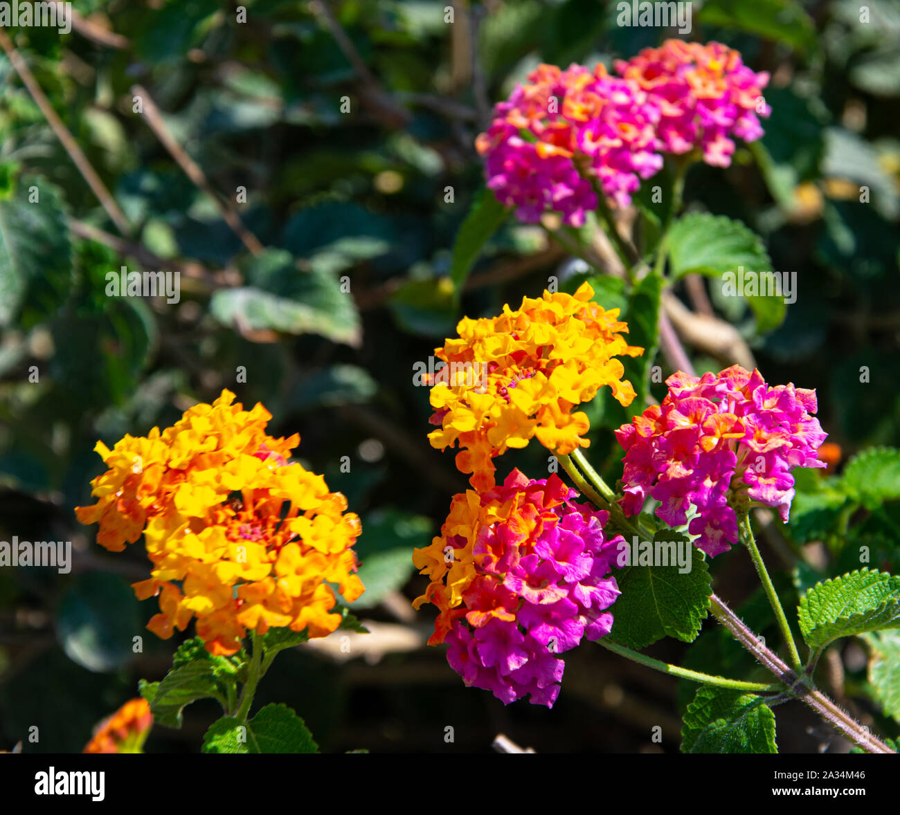 Beautiful colourful Lantana camara flowers on a sunny day in Santorini Stock Photo