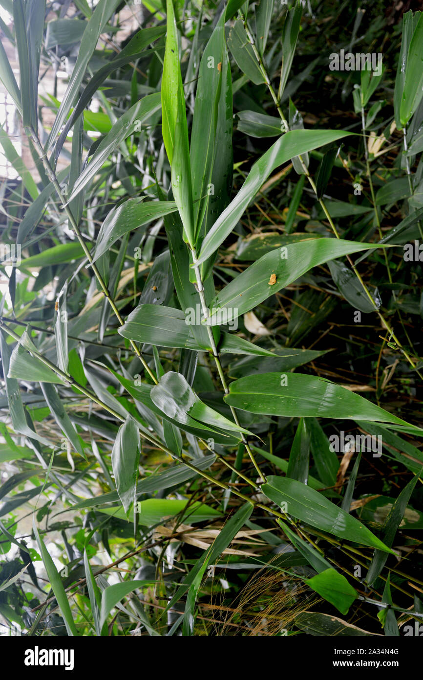 Small Bamboo Plant Stock Photos Small Bamboo Plant Stock Images