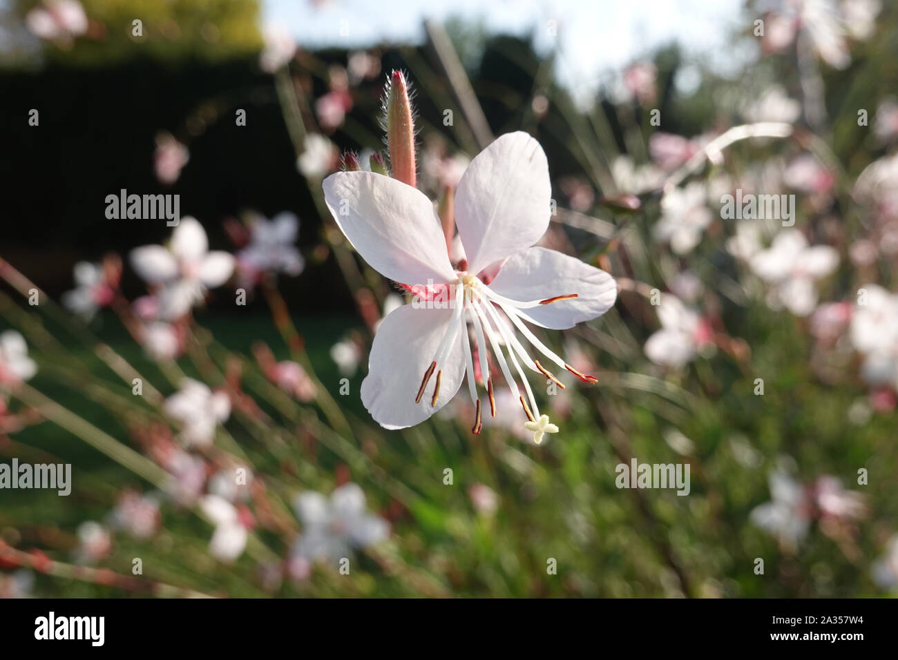 Tiny white flower of gaura lindheimeri or whirling butterflies in the sun with morning dew oenothera lindheimeri, Lindheimer's beeblossom close up Stock Photo