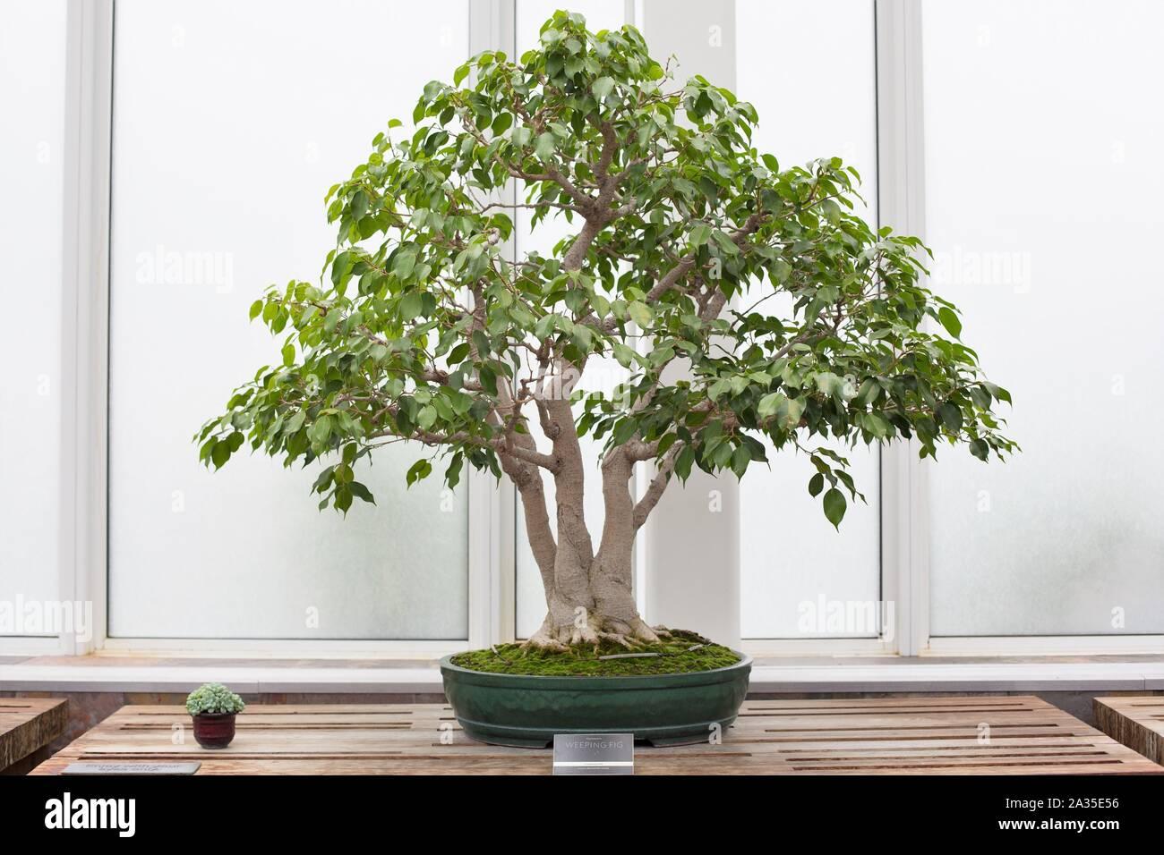 Bonsai Tree Ficus Benjamina High Resolution Stock Photography And Images Alamy