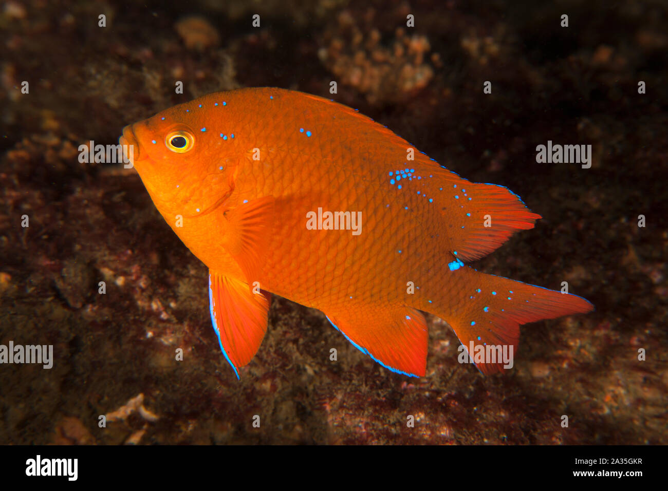 Hypsypops rubicundus, Garibaldi Stock Photo