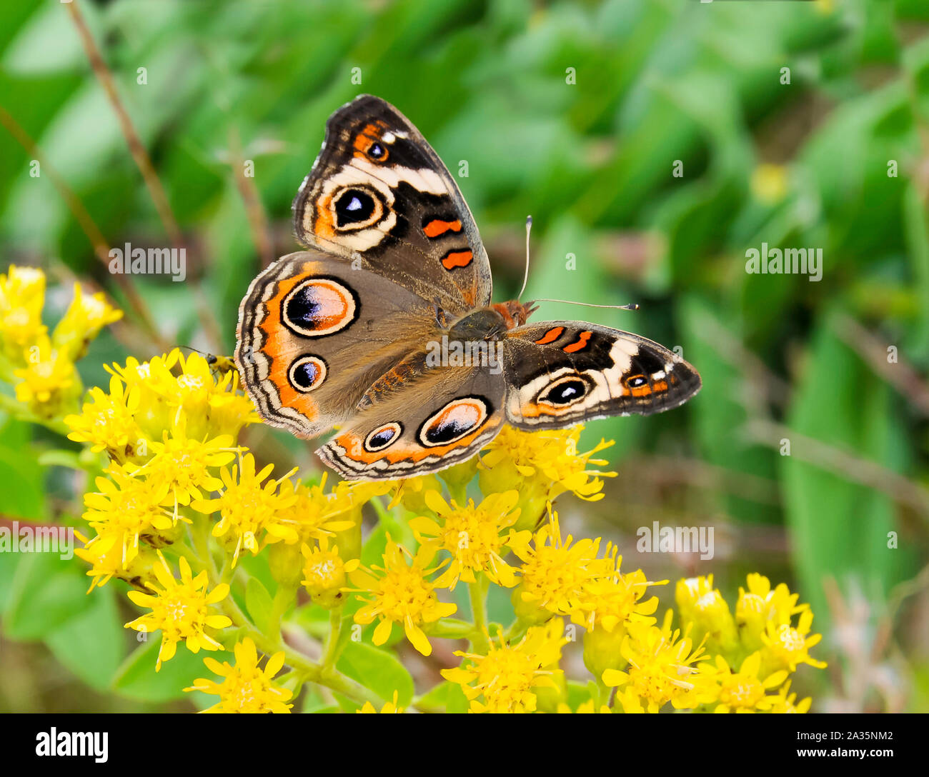 A beautiful common buckeye butterfly feeding on yellow flowers. Stock Photo