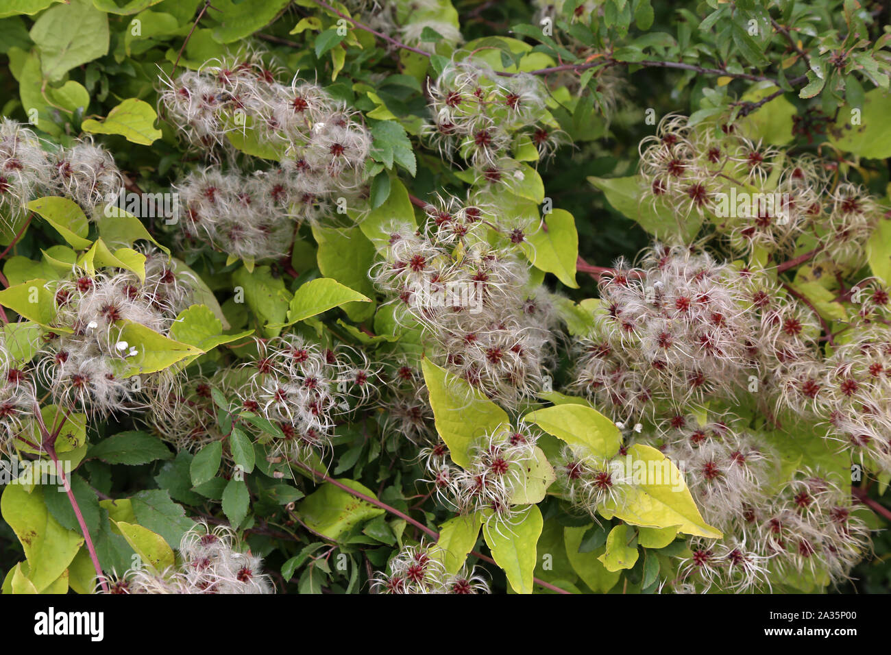 Seed heads with silky appendages of Wild Climatis Stock Photo