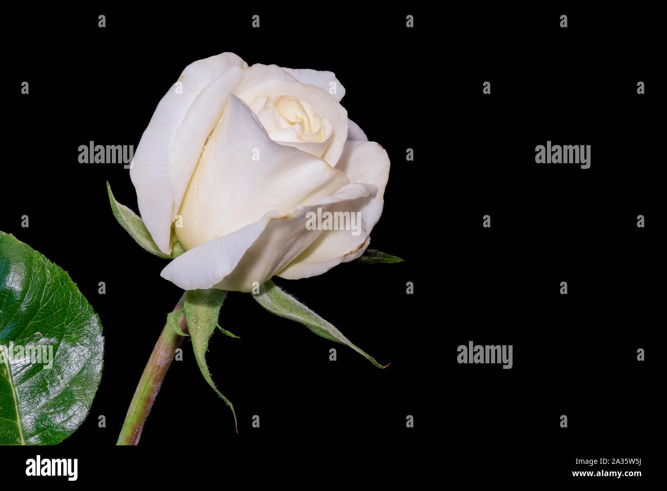 Flower Macro Of A Fresh Yellow White Rose Blossom With Rain Drops Stem Leaves Detailed Texture On Black Background Stock Photo Alamy