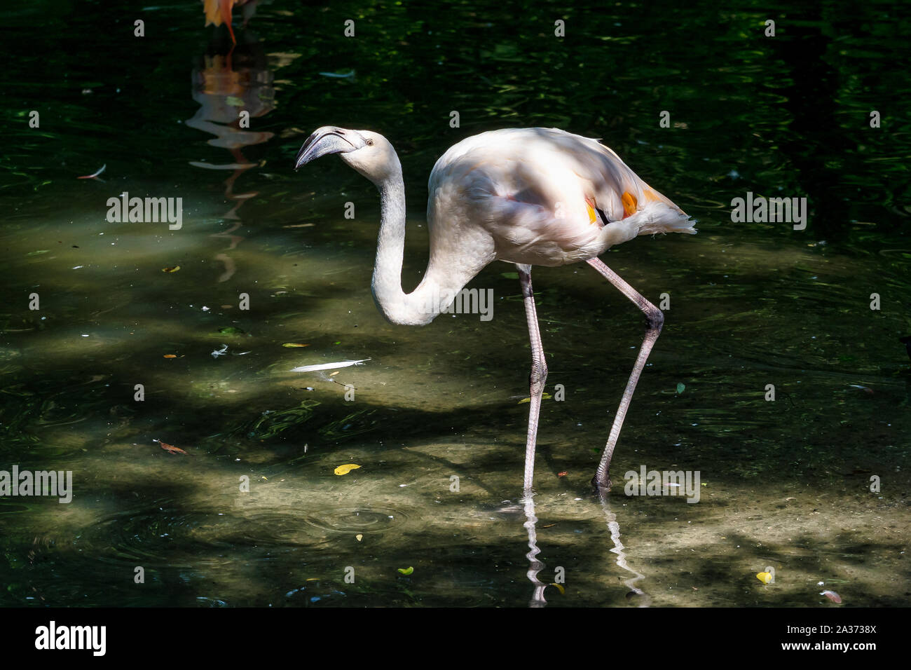 The American flamingo, Phoenicopterus ruber is a large species of flamingo, also known as the Caribbean flamingo. Stock Photo