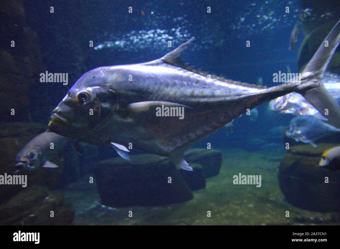 Lockdown fish Selene dorsalis Atlantic, aquarium Berlin Germany Stock Photo