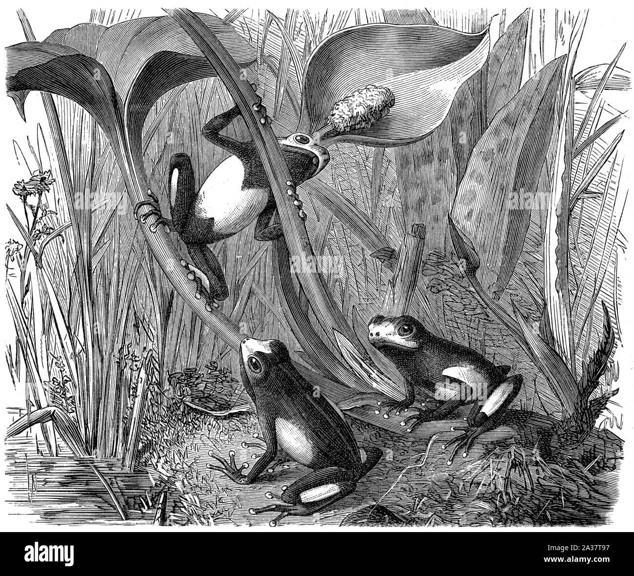 Frogs, tree climber, amphibian, tongue frogs - Frosch, Baumsteiger, Lurche, Zungenfrösche Stock Photo