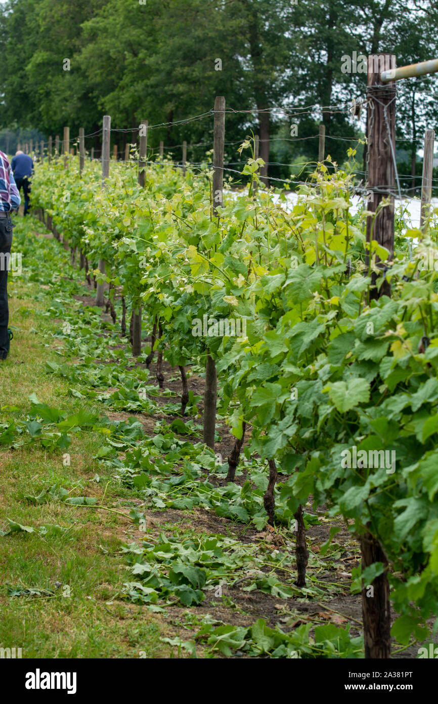 Rows with white wine grape plants on Dutch vineyard in North Brabant, wine production in Netherlands Stock Photo